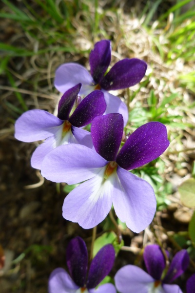 Birdfoot violets (photo by Dianne Machesney)