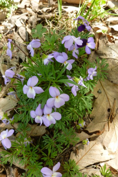 Birdsfoot violets (photo by Dianne Machesney)