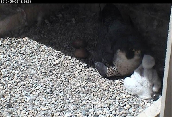 Dorothy and nestling face-to-face (photo from the National Aviary falconcam at University of Pittsburgh)