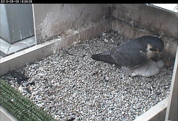 Dorothy watches over Baby, 8 May 2013 (photo from the National Aviary falconcam at Univ of Pittsburgh)