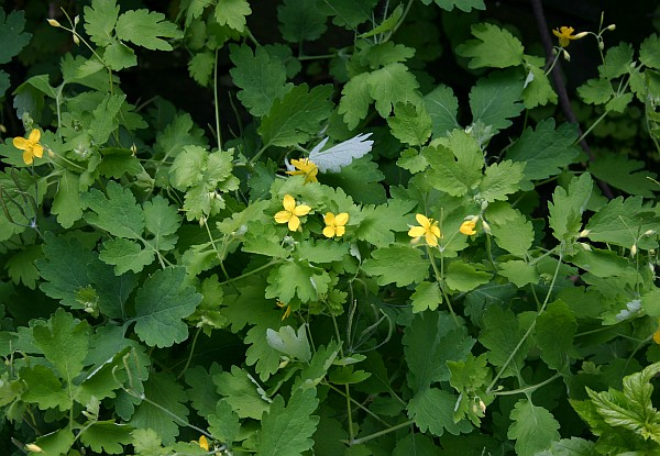 Greater celandine in Schenley Park (photo by Kate St. John)