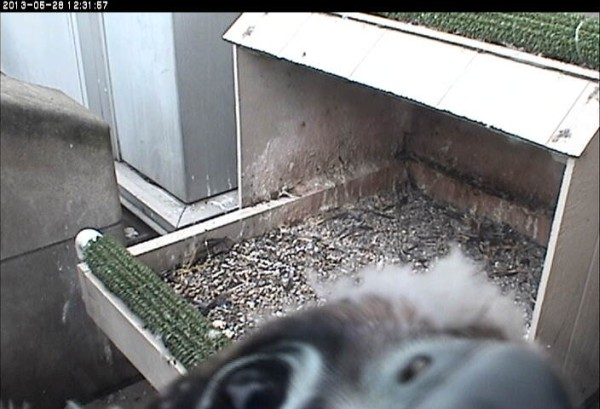 Curious chick examines the webcam (photo from the National Aviary falconcam at University of Pittsburgh)