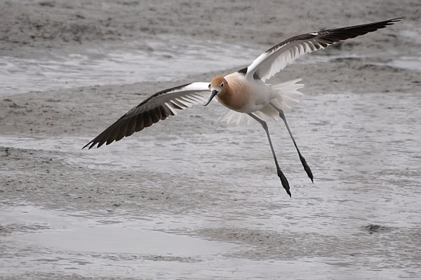 American avocet in flight (photo by Ingrid Taylar on Wikimedia Commons)