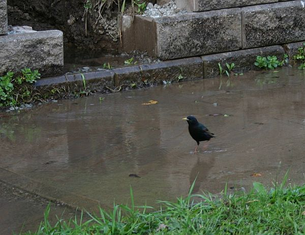 European starling enjoying the water line break (photo by Kate St. John)