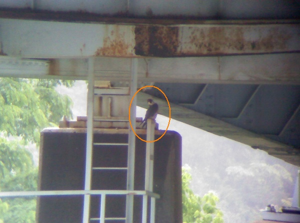 Adult peregrine at I-79 Neville Island Bridge (photo by Gene Henderson)