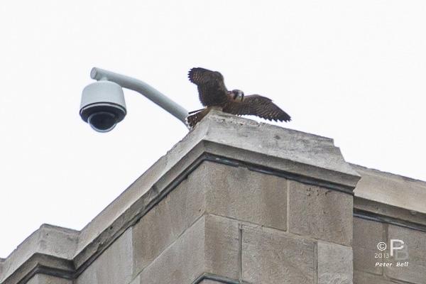 Pitt fledgling, 3 June 2013 (photo by Peter Bell)