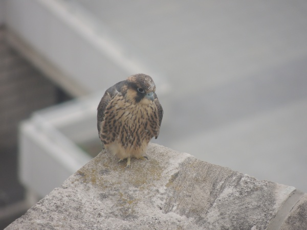 Young fledgling chilling on 25 west, 3 June 2013 (photo by Kim Getz)