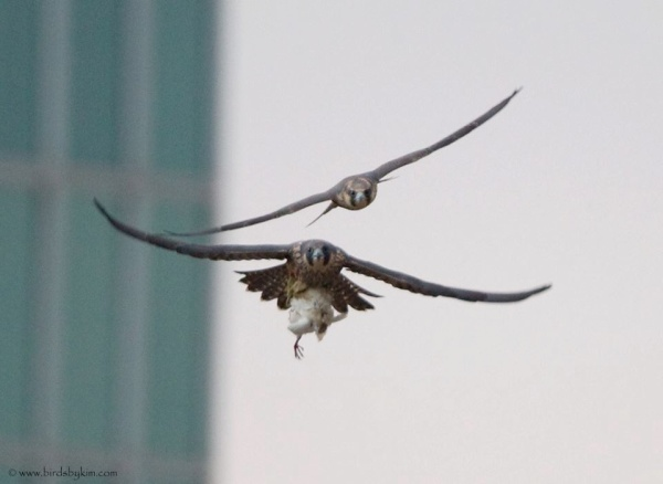 Two juvenile peregrines learn independence in Wilmington, Delaware (photo by Kim Steininger)