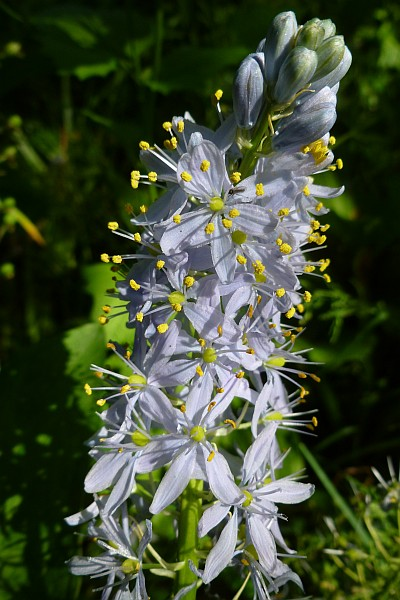 Camassias scilliodes (photo by Dianne Machesney)