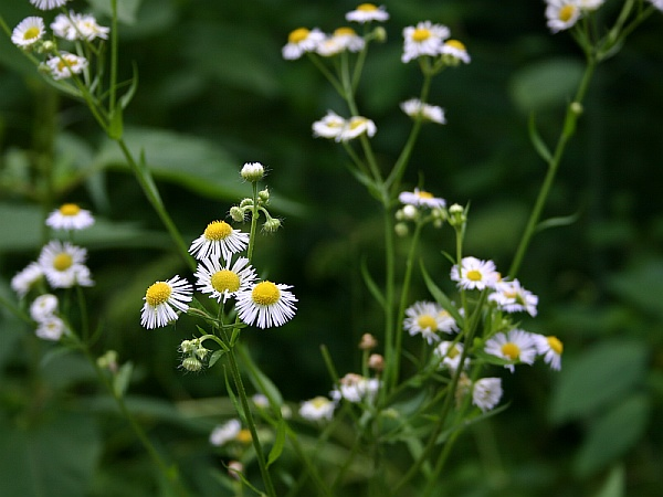 Fleabane (photo by Kate St. John)