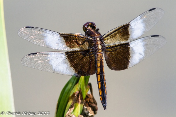 Widow skimmer dragonfly (photo by Charlie Hickey)