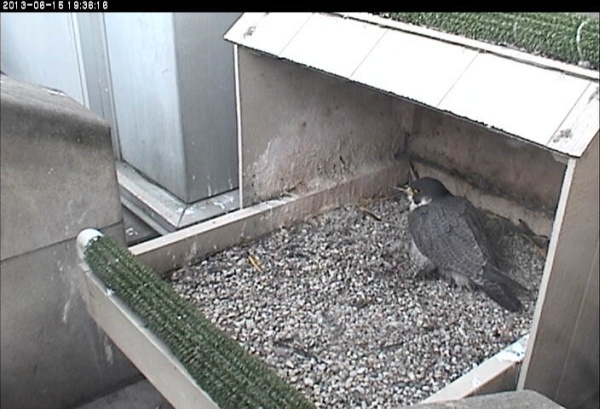 Dorothy thinking about eggs, 15 June 2013 (photo from the National Aviary falconcam at the University of Pittsburgh)