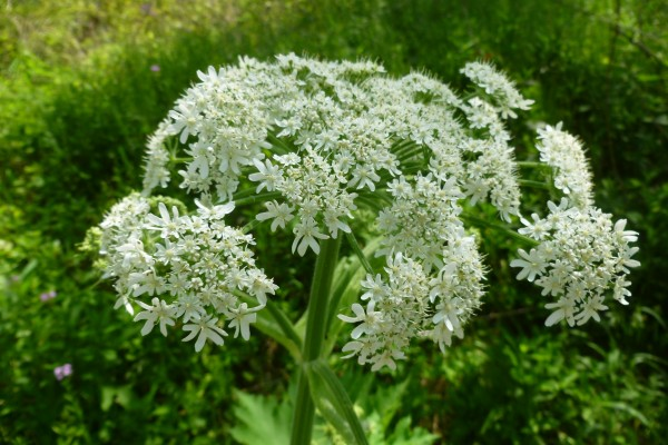 Cow Parsnip flower umbel (photo by Dianne Machesney)