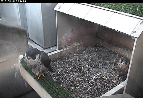 Baby's plans got rained out (photo from the National Aviary falconcam at Univ of Pittsburgh)