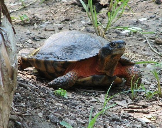 turtle_woodturtle_rsz2_wikiWood Turtle (photo from Wikimedia Commons)