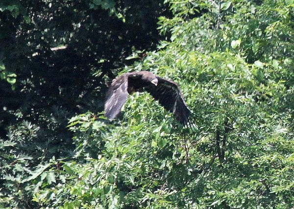 Bald eagle juvenile takes off  at Hays (photo by Tom Moeller)