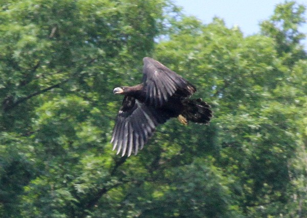 Bald eagle juvenile at Hays, City of Pittsburgh (photo by Tom Moeller)