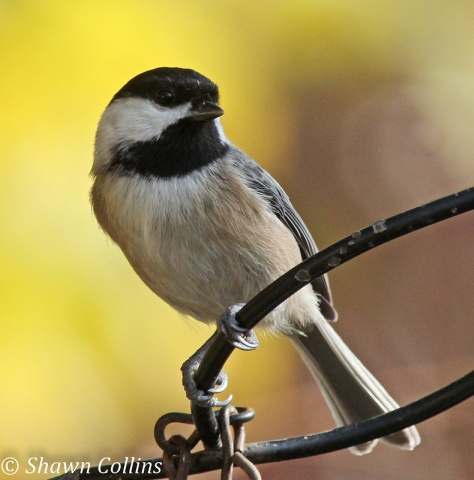Black-capped chickadee (photo by Shawn Collins)