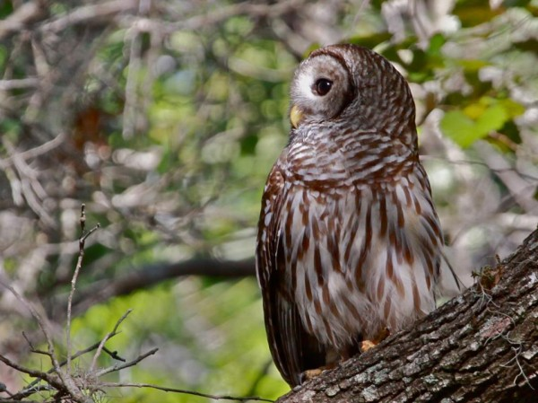 Barred Owl (photo by Chuck Tague)