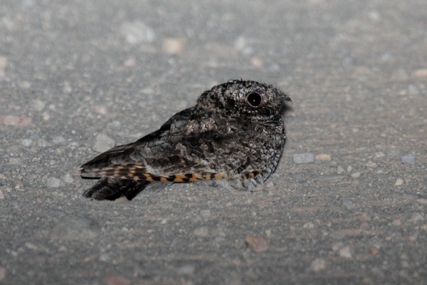 Common Poorwill (photo by Dominic Sherony via Wikimedia Commons)