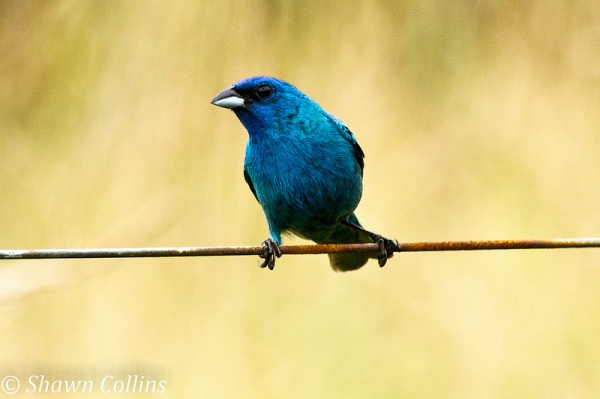 Indigo Bunting, male (photo by Shawn Collins)