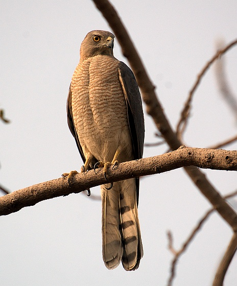 Shikra, adult male (photo from Wikipedia)