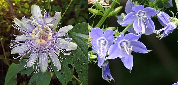 Compare purple passion flower to tall bellflower (photo of maypops from Wikimedia Commons, photo of bellflower by Kate St. John)