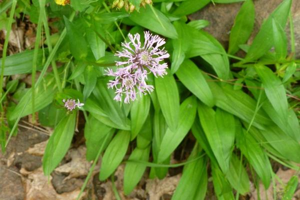 Marshallia grandiflora, Ohiopyle (photo by Dianne Machesney)