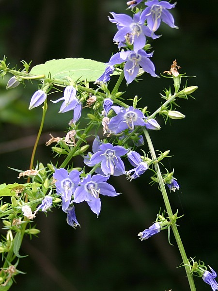fThree stems of Tall Bellflower joined by a vine (photo by Kate St. John)