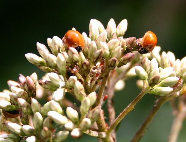 Ladybugs hunting aphids (photo by Kate St. John)