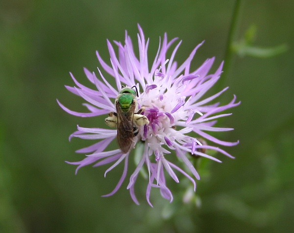 Metallic green bee on Spotted knapweed (photo by Kate St. John)