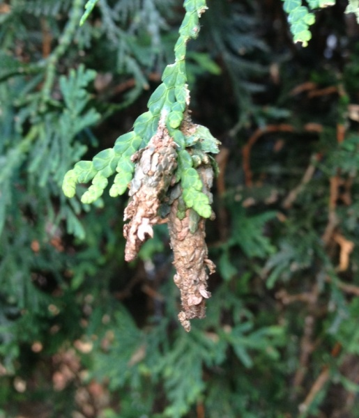 Bagworm moth caterpillars on cedar tree (photo by Stephen Tirone)