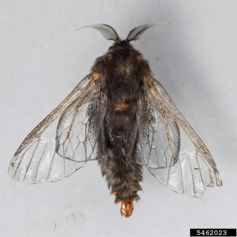 Bagworm moth (photo by Mark Dreiling, Retired, Bugwood.org)