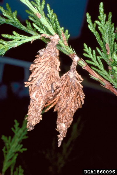moth_bagworms_in_cedar_1860096_rsz_bugwoodTwo bagworm moths overwintering on a cedar (photo by Lacy L. Hyche, Auburn Univ, Bugwood.org)