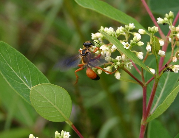 Great golden digger wasp (photo by Kate St. John)