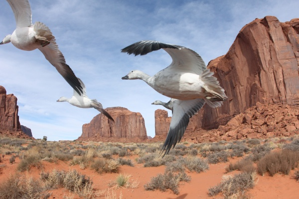 Snow geese migrate through Monument Valley, Utah (photo courtesy of John Downer Productions, PBS Nature, WNET)