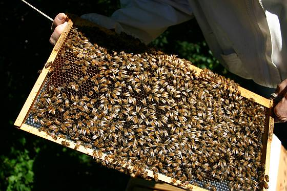 7_bees_tray_of_bees_2239_rsz_kms