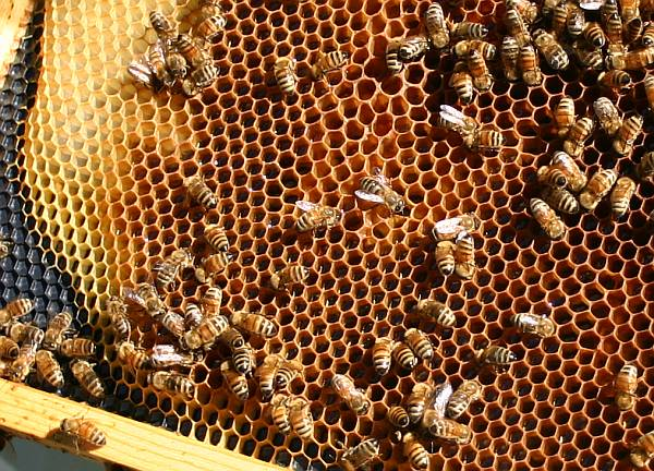 Honeybees with honey comb (photo by Kate St. John)