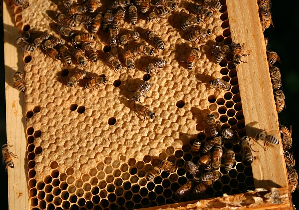9_bees_larval_chambers_workers_2245_rsz_kms