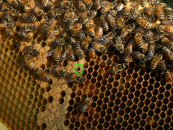 9c_bees_larvae_digging_out_2246_rsz_kms