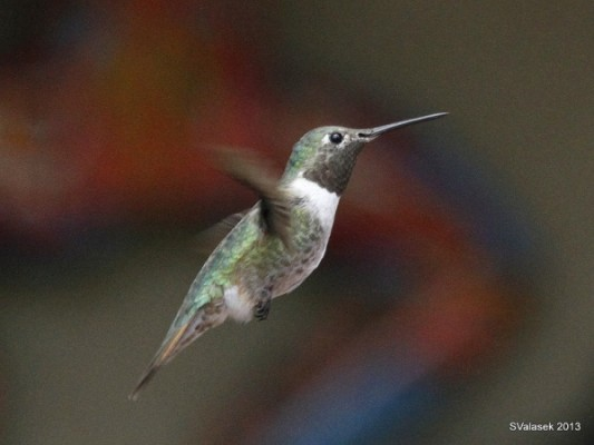 Mystery Hummingbird #1 (photo by Steve Valasek)