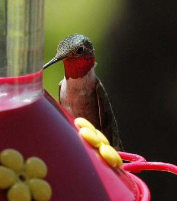 Mystery Hummingbird #4 (photo by Steve Valasek)
