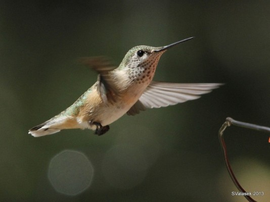 Mystery Hummingbird #2 (photo by Steve Valasek)