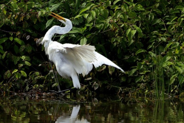 Great egret trapped in high-strength fishing line (photo by John Beatty)