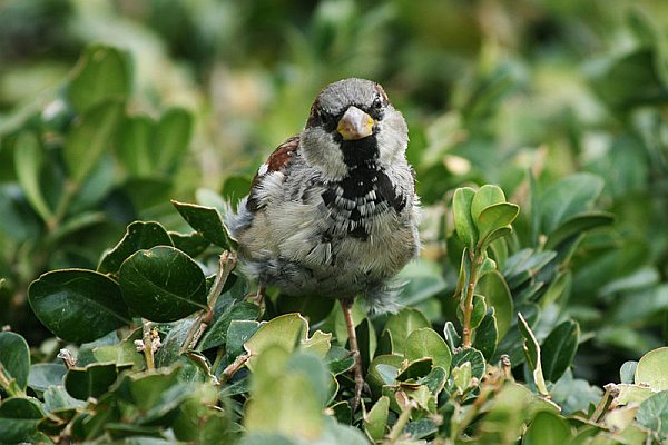 House sparrow molting, Sept 2008 (photo by Remi Jouan via Wikimedia Commons)