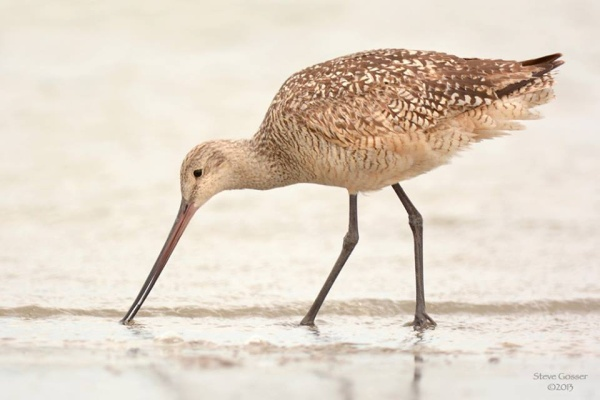 Marbled godwit at Conneaut Harbor, Ohio (photo by Steve Gosser)