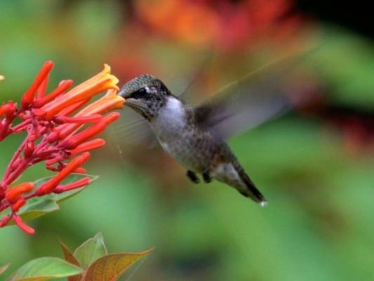 Mystery Hummingbird #5 (photo by Chuck Tague)