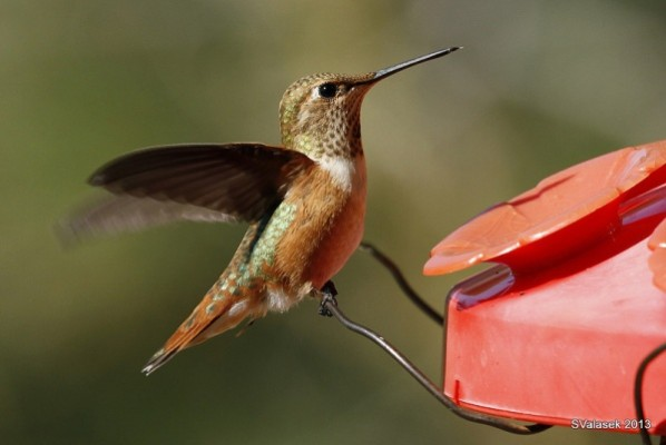 Mystery Hummingbird #3 (photo by Steve Vlasek)