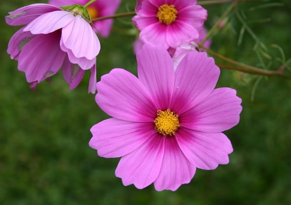 Cosmos in Marcy's garden (photo by Kate St. John)