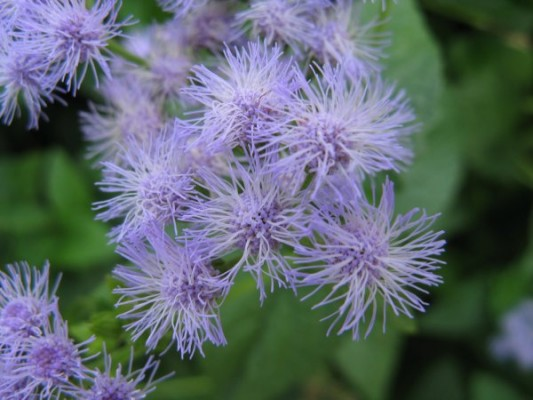 Close up of Mistflower (photo from Wikimedia Commons)